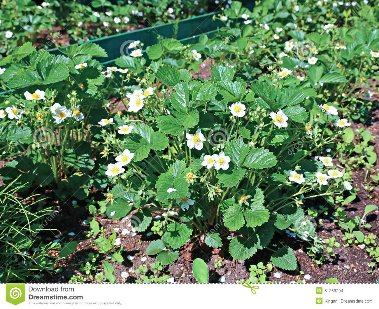 Flowering strawberry plant on the gardenbed stock photo image 51369294 - Plant strawberries spring ...