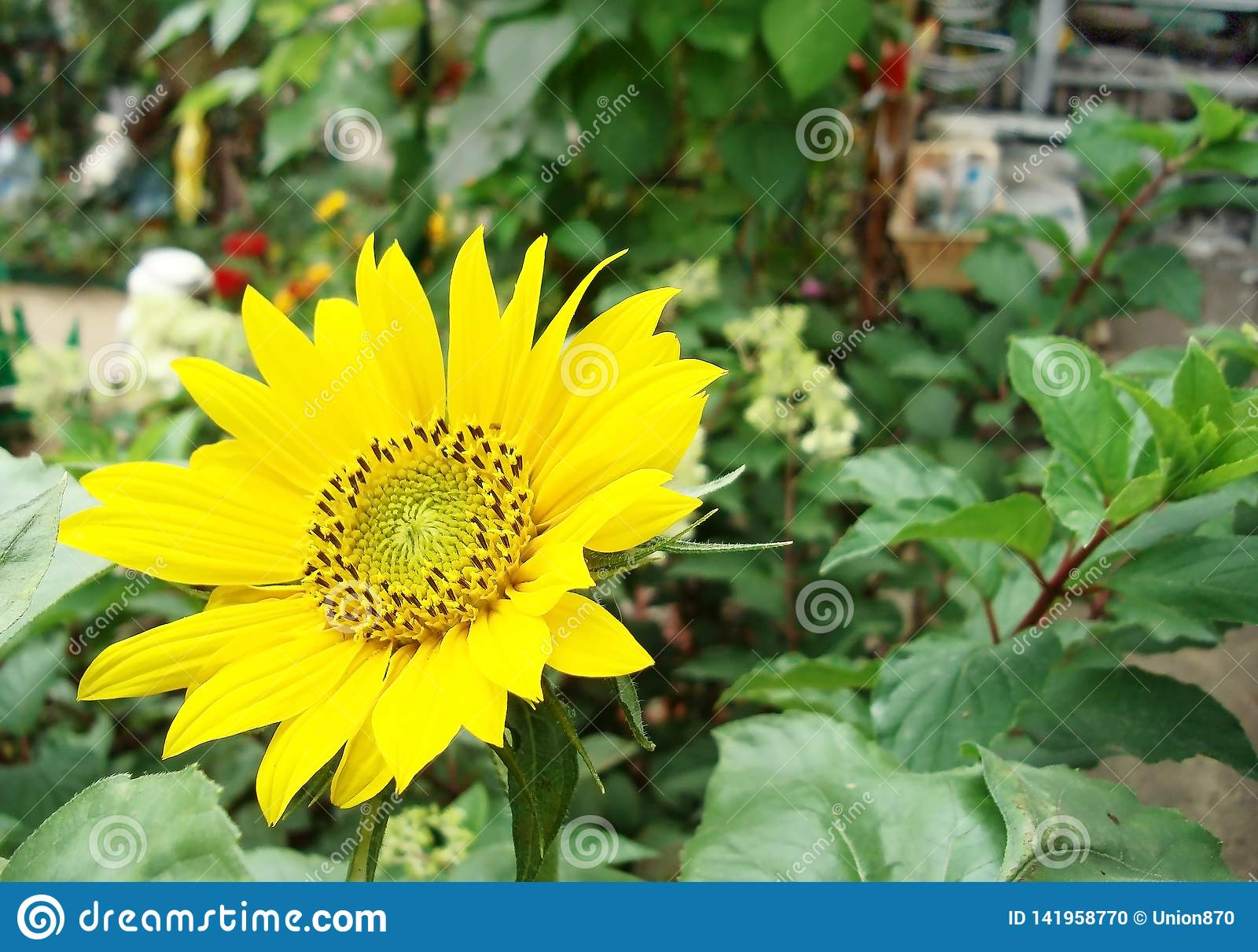 Flowering sunflower on a background of the summer garden