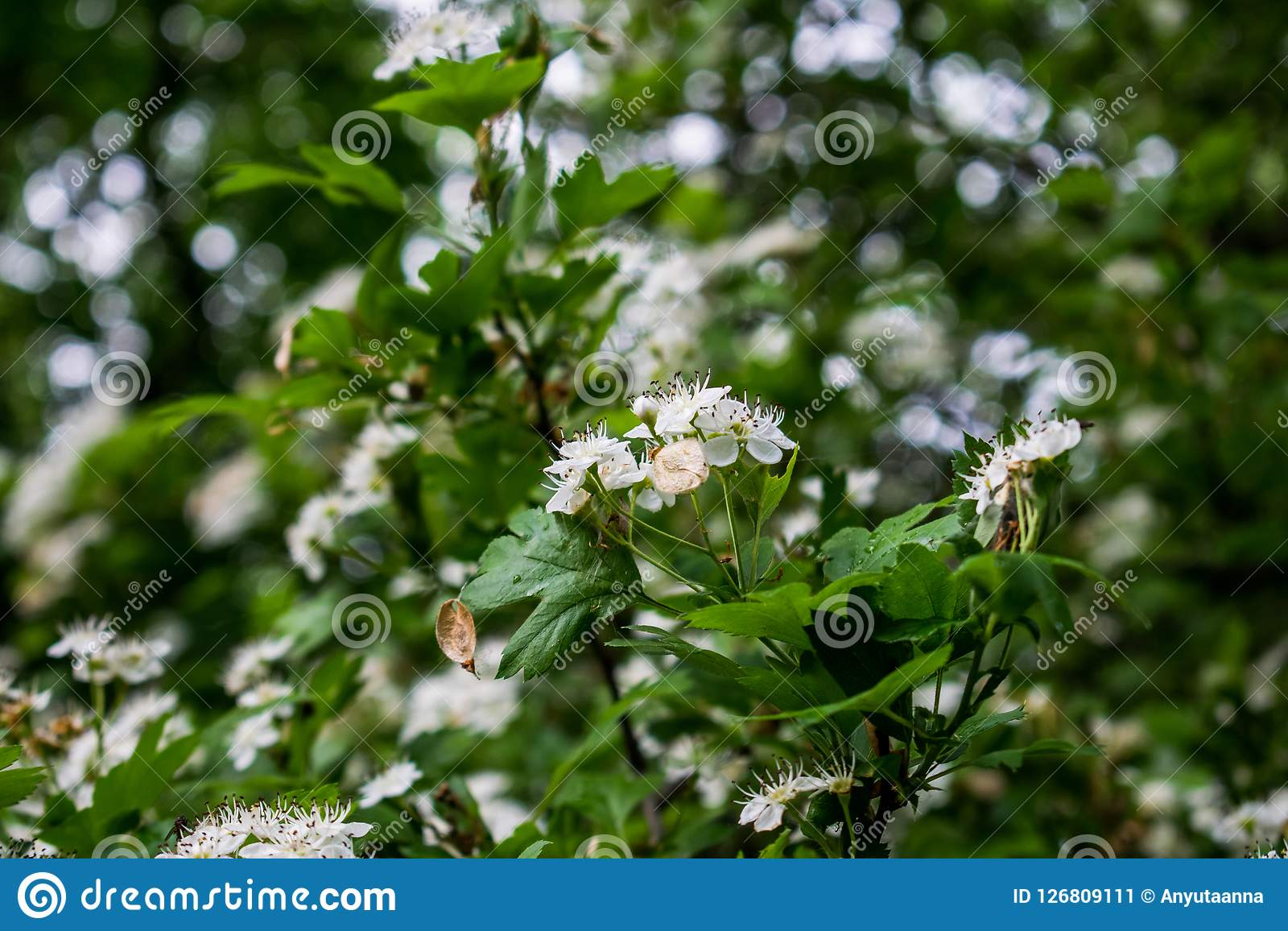 Flowering Tree Big Spring Bush Many Small White Flowers And Buds