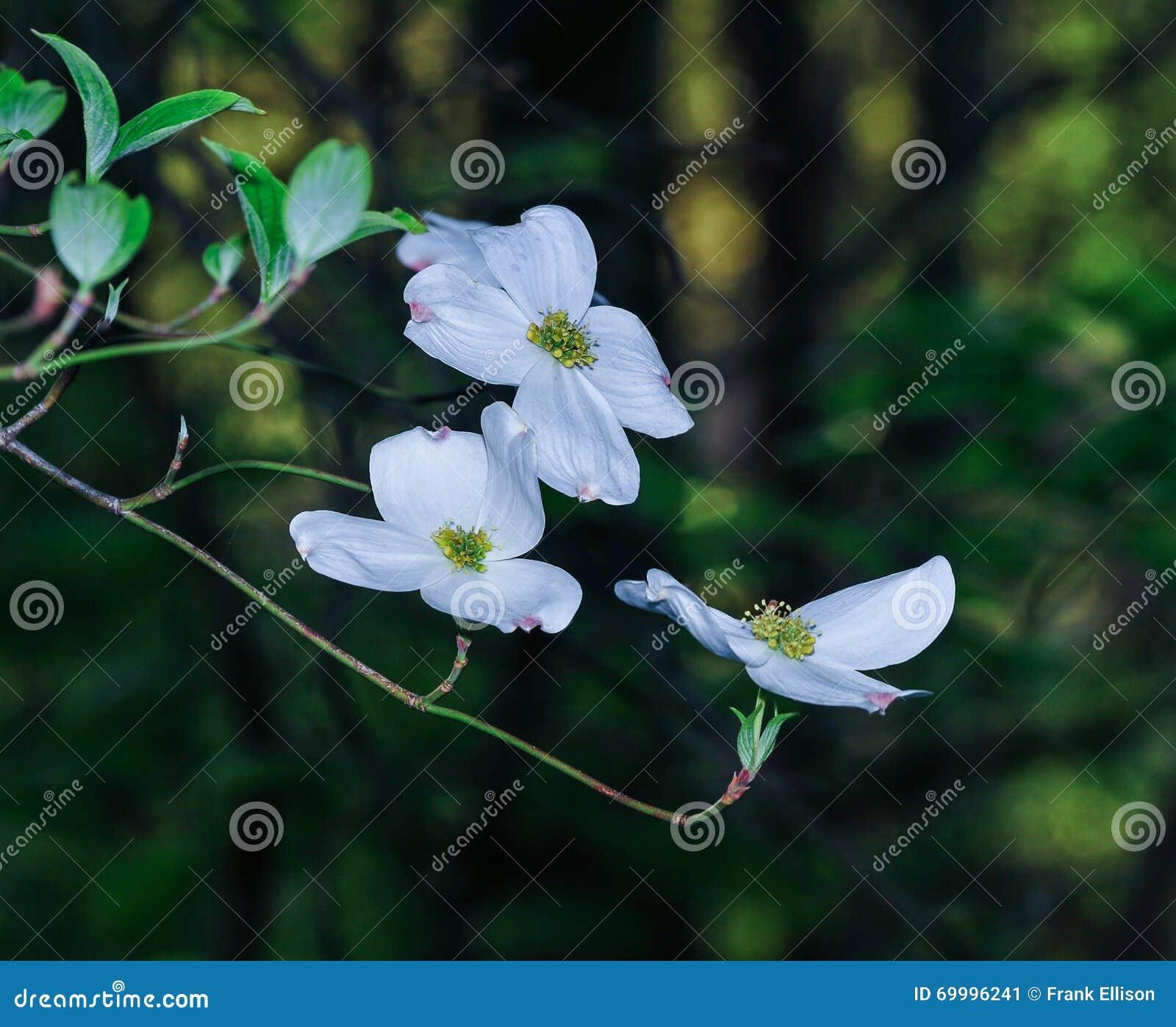 Flowering Tree Stock Image Image Of Tree Tips Flowering 69996241