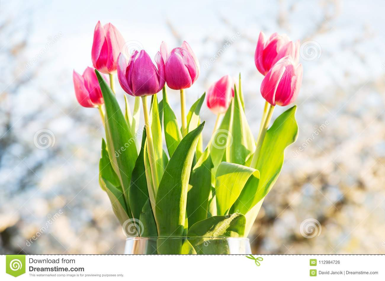 Flowering tulips with cherry tree in background