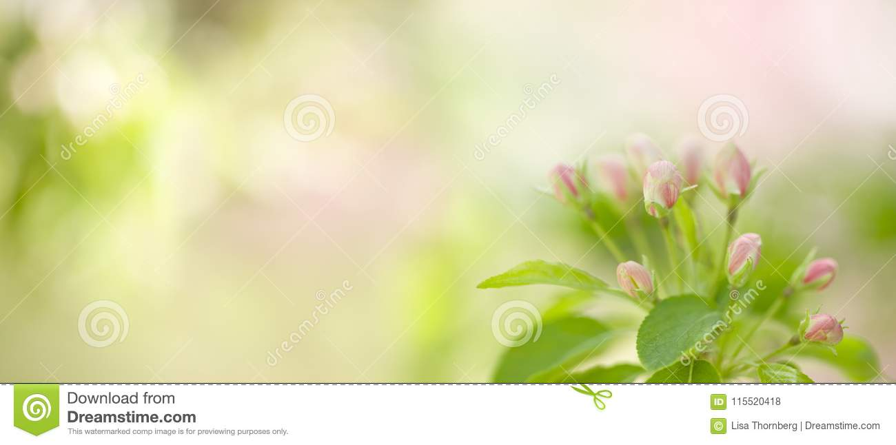 Flowering White Snow Crab Apple Tree Stock Photo Image Of Natural
