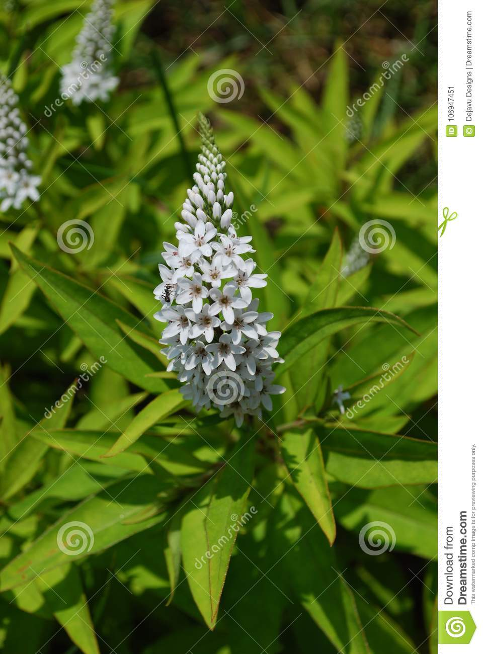 Flowering White Veronica Plant Stock Image Image Of Gypsyweed