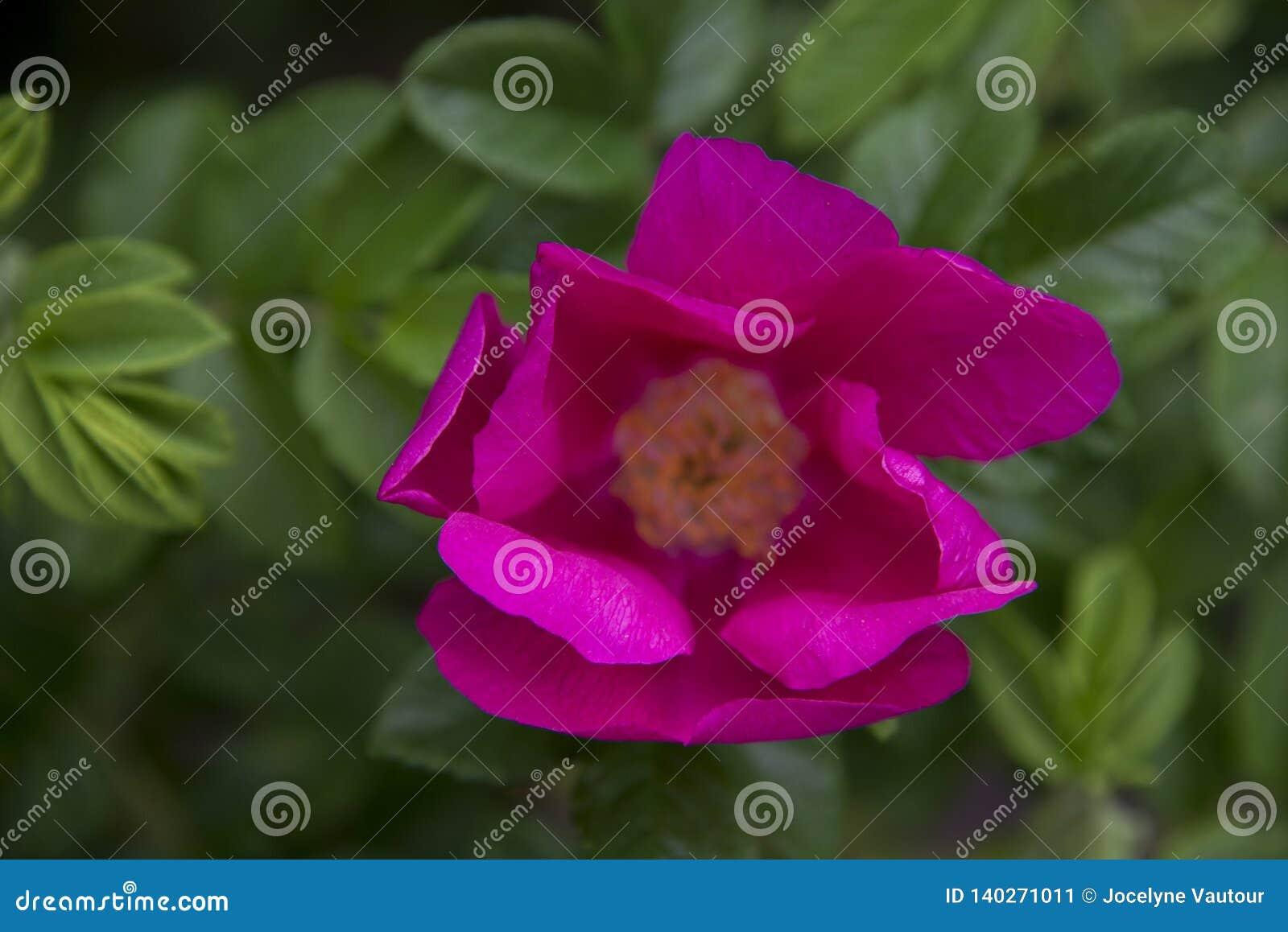 Fuchsia petals from a wild rose