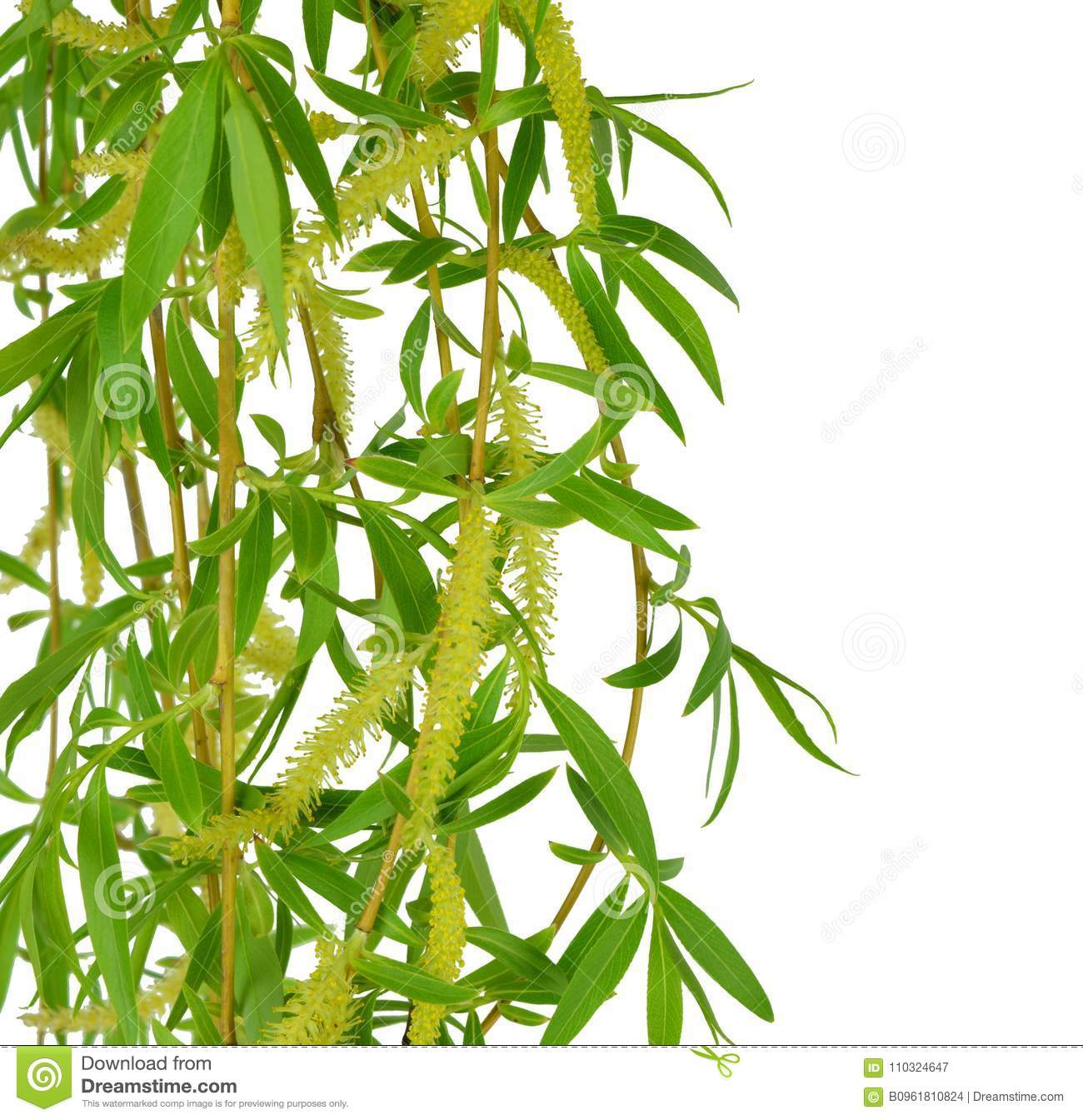 Flowering willow and spring foliage. Close-up. Isolated without