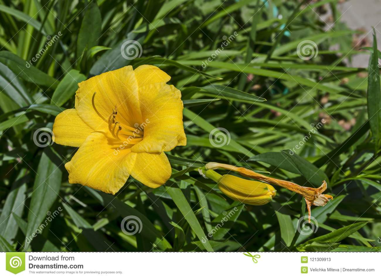 Flowering Yellow Day Lily Flower Or Hemerocallis Stella De Oro In
