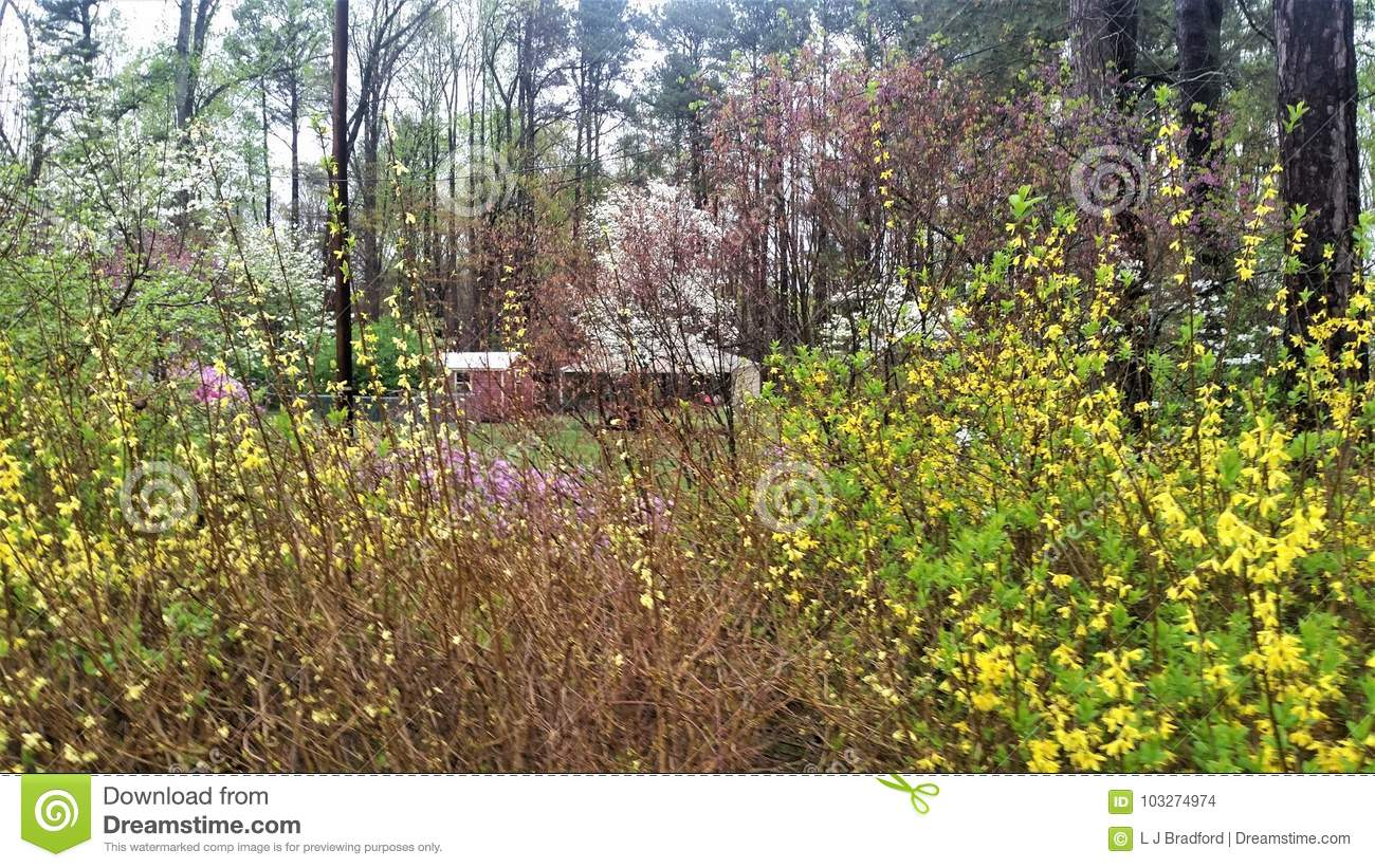 Flowering Yellow Forsythia In Foreground And White Dogwood And In