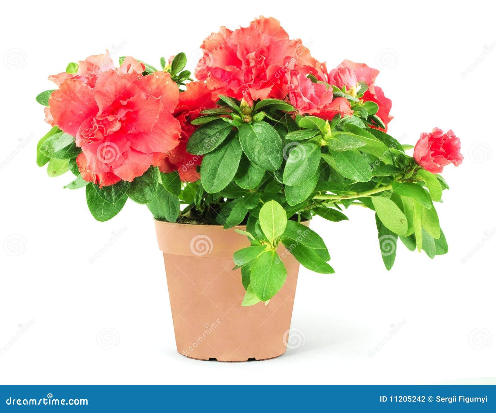 Flowerpot цветка
