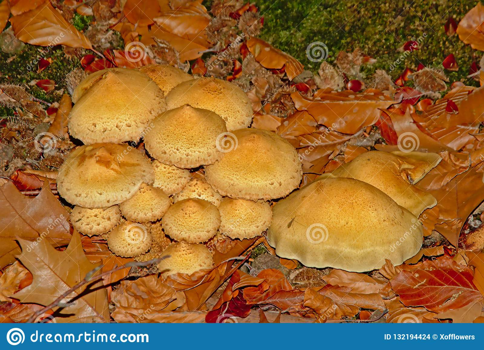 Flowerpot parasol mushrooms - Leucocoprinus birnbaumii