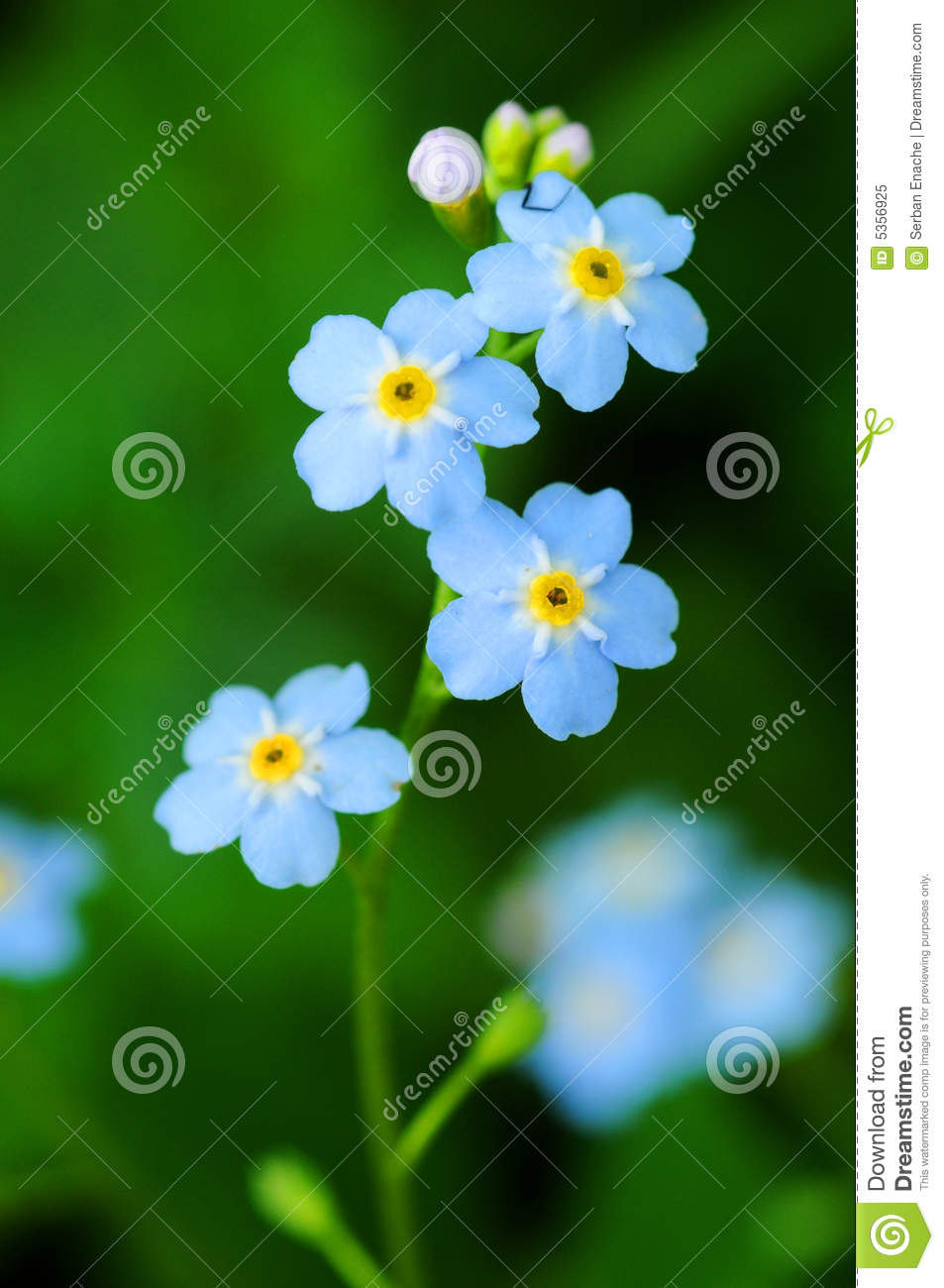 Download Flowers stock image. Image of alpestris, tiny, details - 5356925