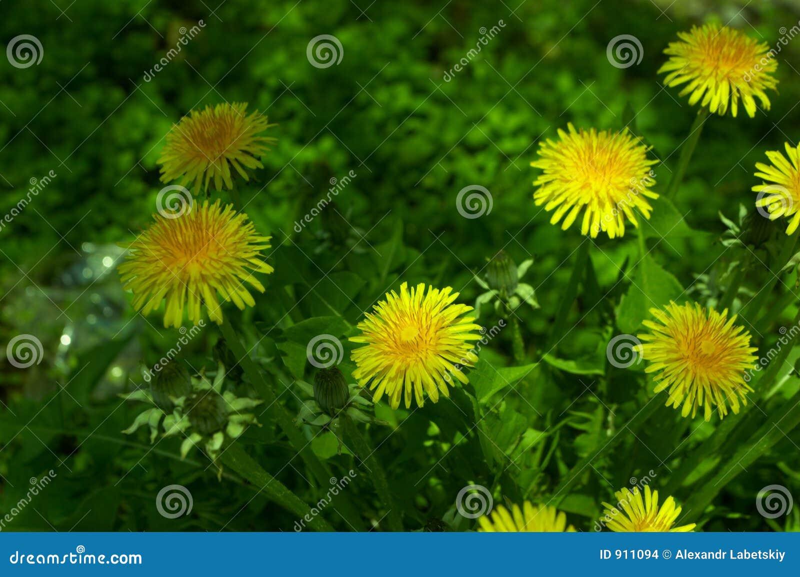 Download Flowers stock photo. Image of dandelion, botanical, lone - 911094