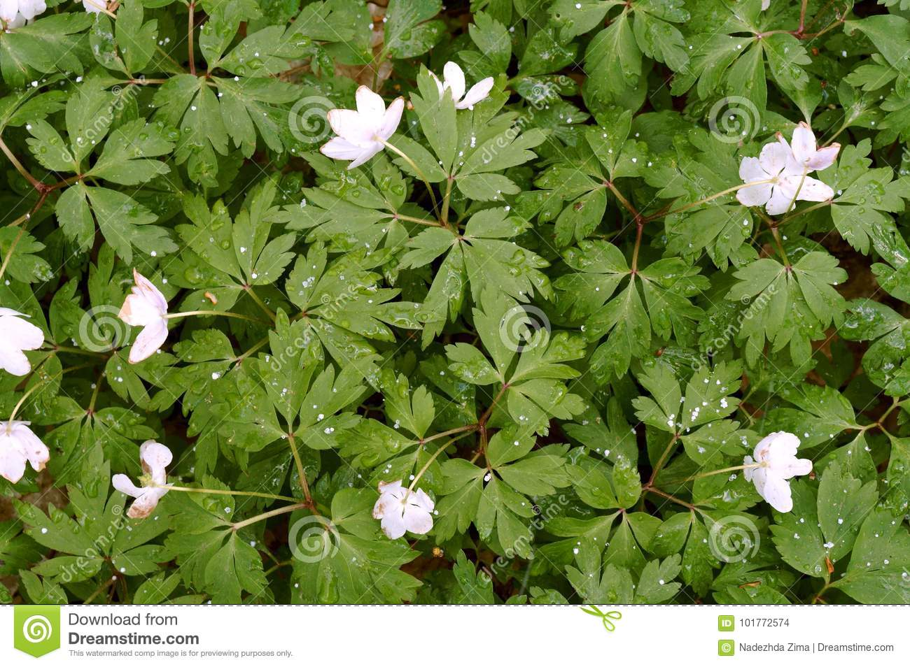 Anemone forest spring flowers small white stock photo image download anemone forest spring flowers small white stock photo image mightylinksfo