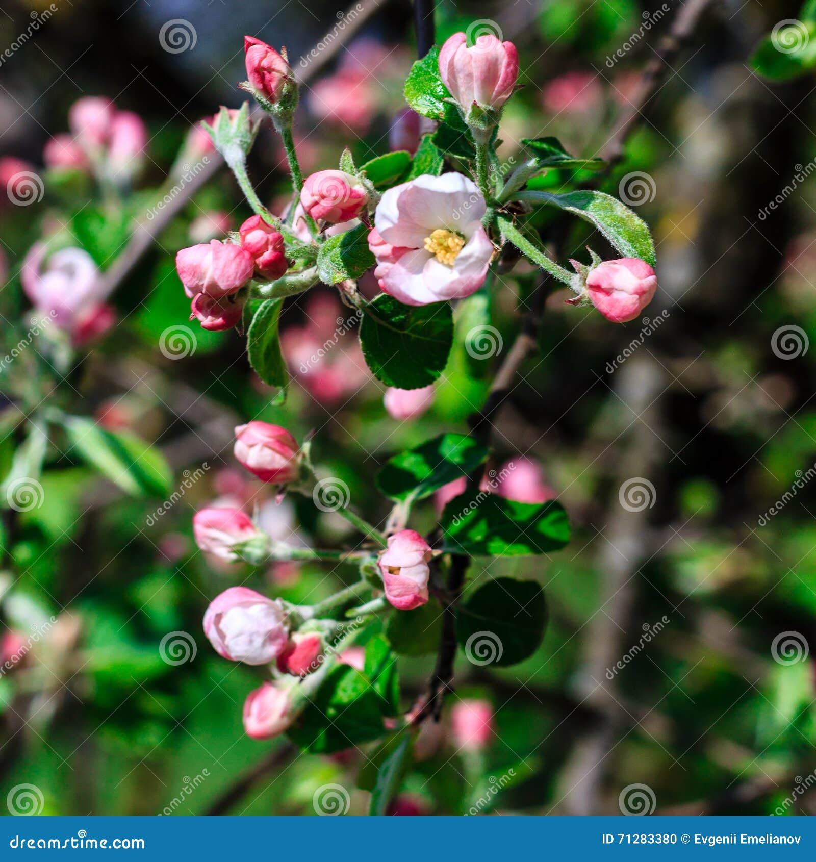 Flowers of the apple blossoms at spring season stock photo image flowers of the apple blossoms at spring season mightylinksfo