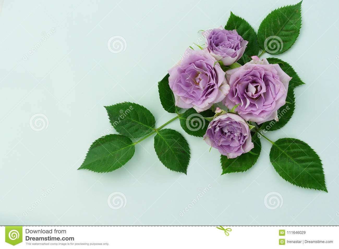 Flowers background beautiful purple roses on a mint color flowers background beautiful purple roses on a mint color background izmirmasajfo
