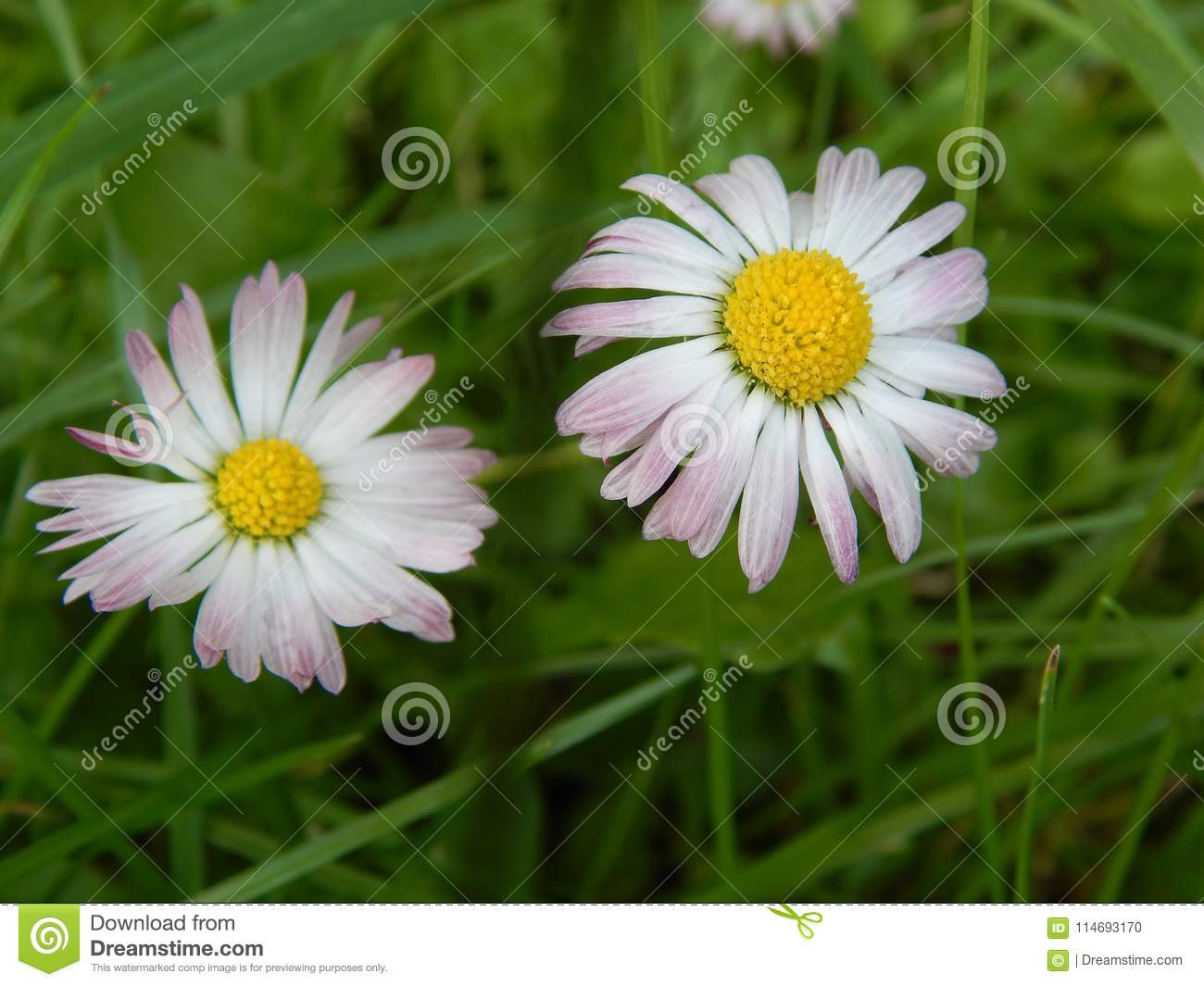 Flowers beautiful garden plant flower daisy with white petals stock download flowers beautiful garden plant flower daisy with white petals stock photo image of flower mightylinksfo