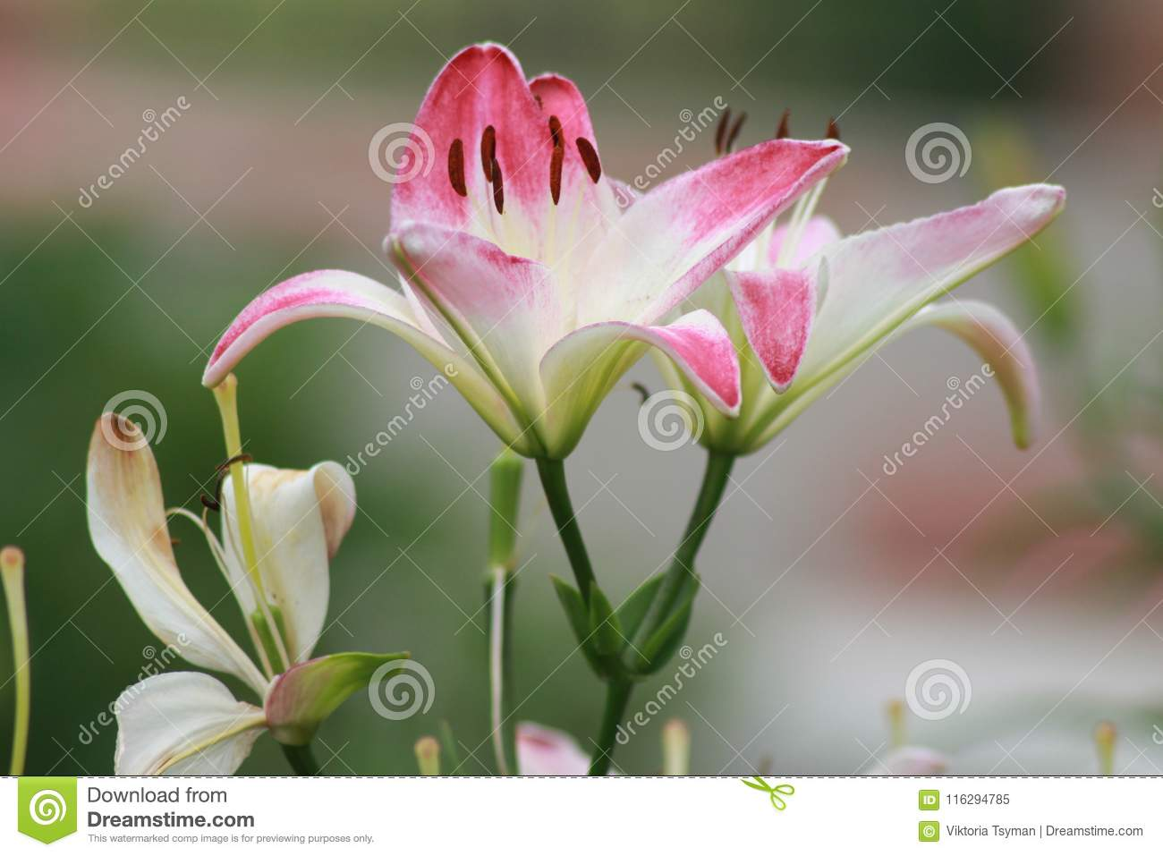 White And Pink Lilies For Beautiful Ladies Gentle And Beautiful