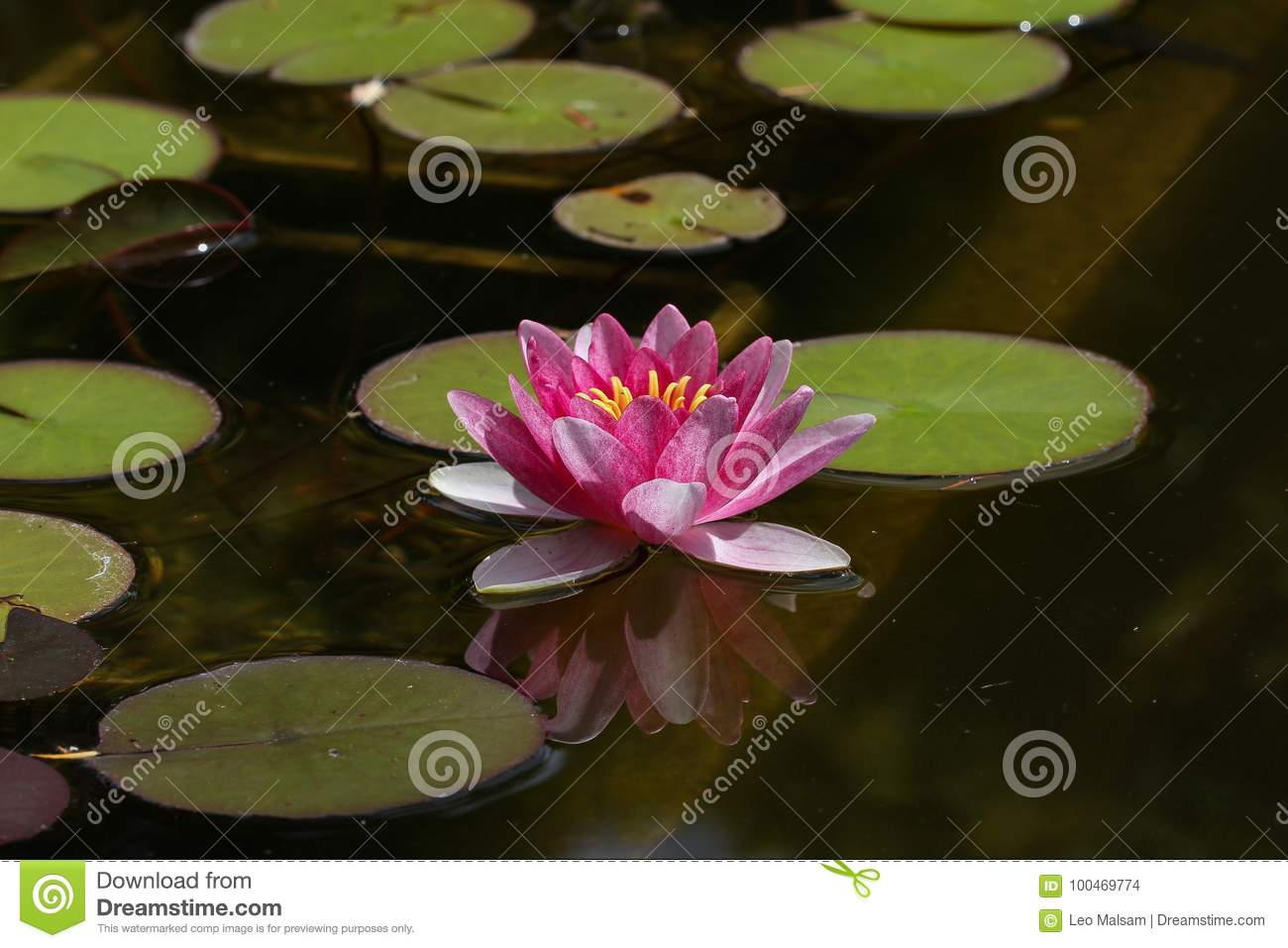 Beautiful Lotus Flower In Pond Stock Photo Image Of Natural