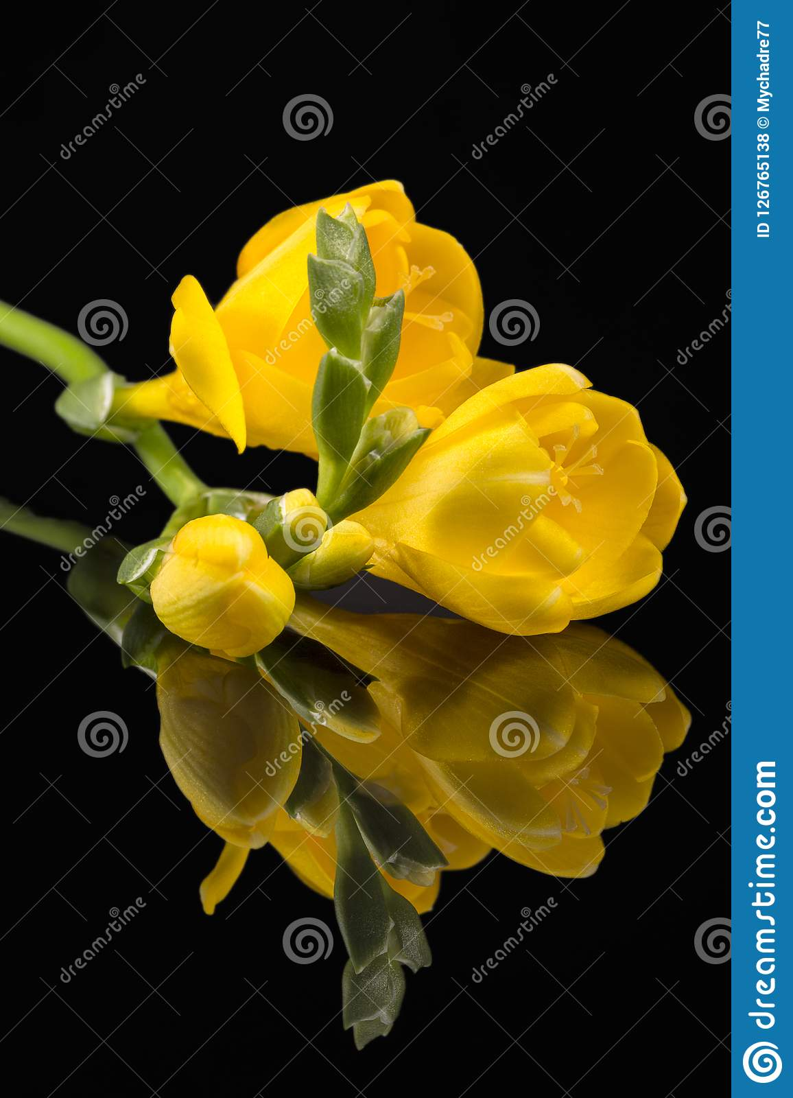 Flowers of beautiful yellow freesia isolated on black background. Mirror reflection Royalty Free Stock Photos