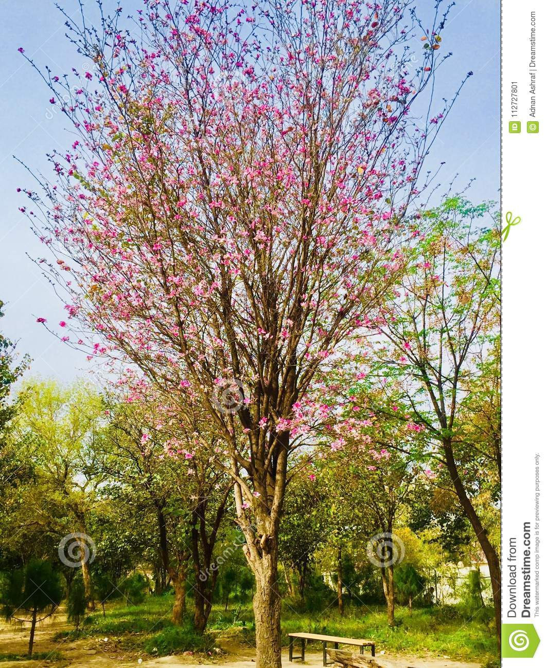 Flowers beauty in islamabad stock image image of trees beautiful spring and summer beauty of flowers in beautiful green city islamabad pakistan natural scenery of natural beauty morning spring and evening daylight in izmirmasajfo