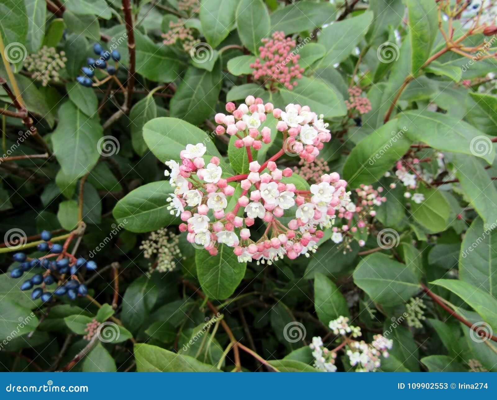 Download Flowers And Berries Of Viburnum Tinus / Laurustinus Viburnum. Stock Image - Image of flowers, flower: 109902553