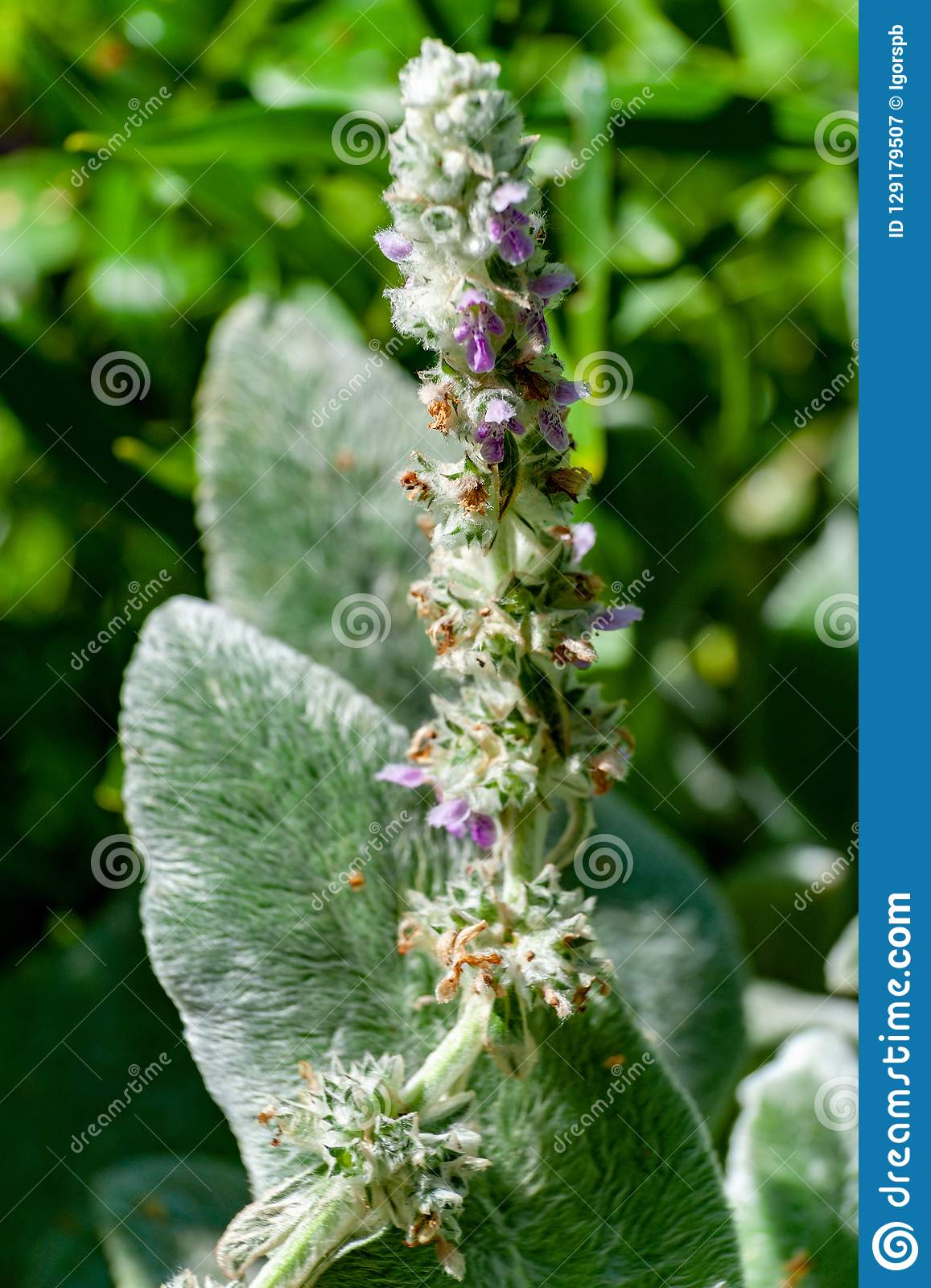 Flowers of blossoming Stachys byzantina 'Silver Carpet ' (Lamb's Ear). Selective focus with shallow DOF.