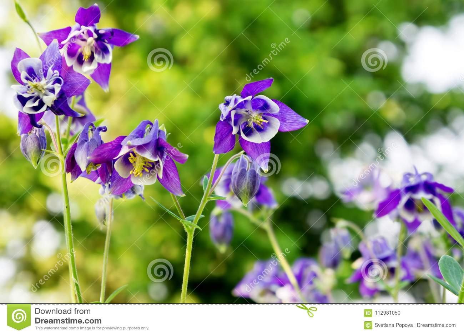 Flowers blue aquilegia Aquilegia vulgaris in a garden on a bright green background.