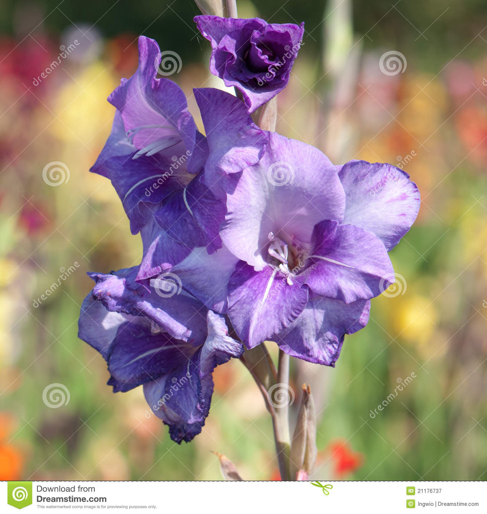 Flowers of a blue gladiolus