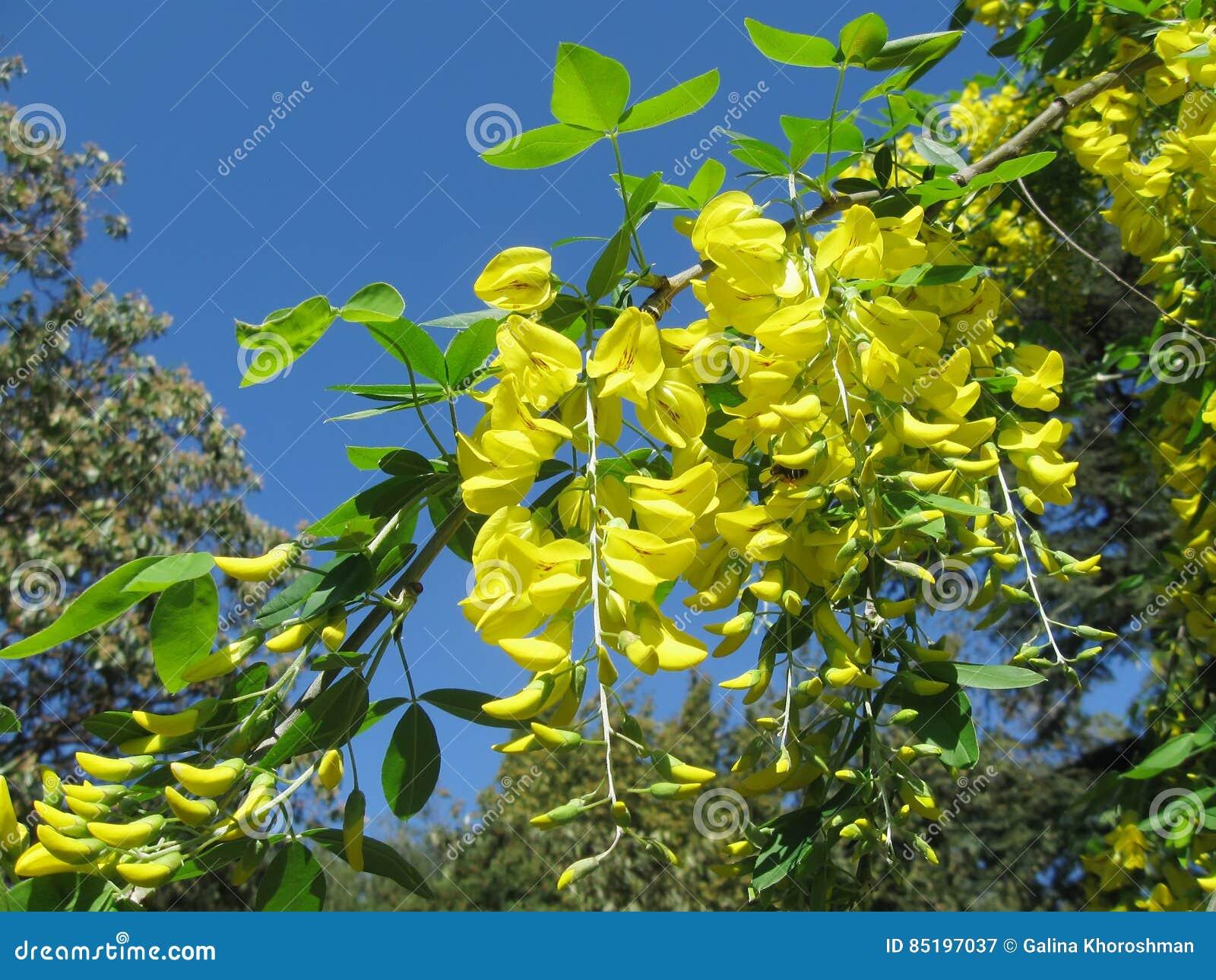 Garden almond - golden rain 48