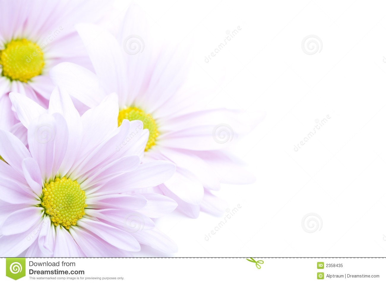 Flowers border - beautiful lanvender daisies highkey on white.