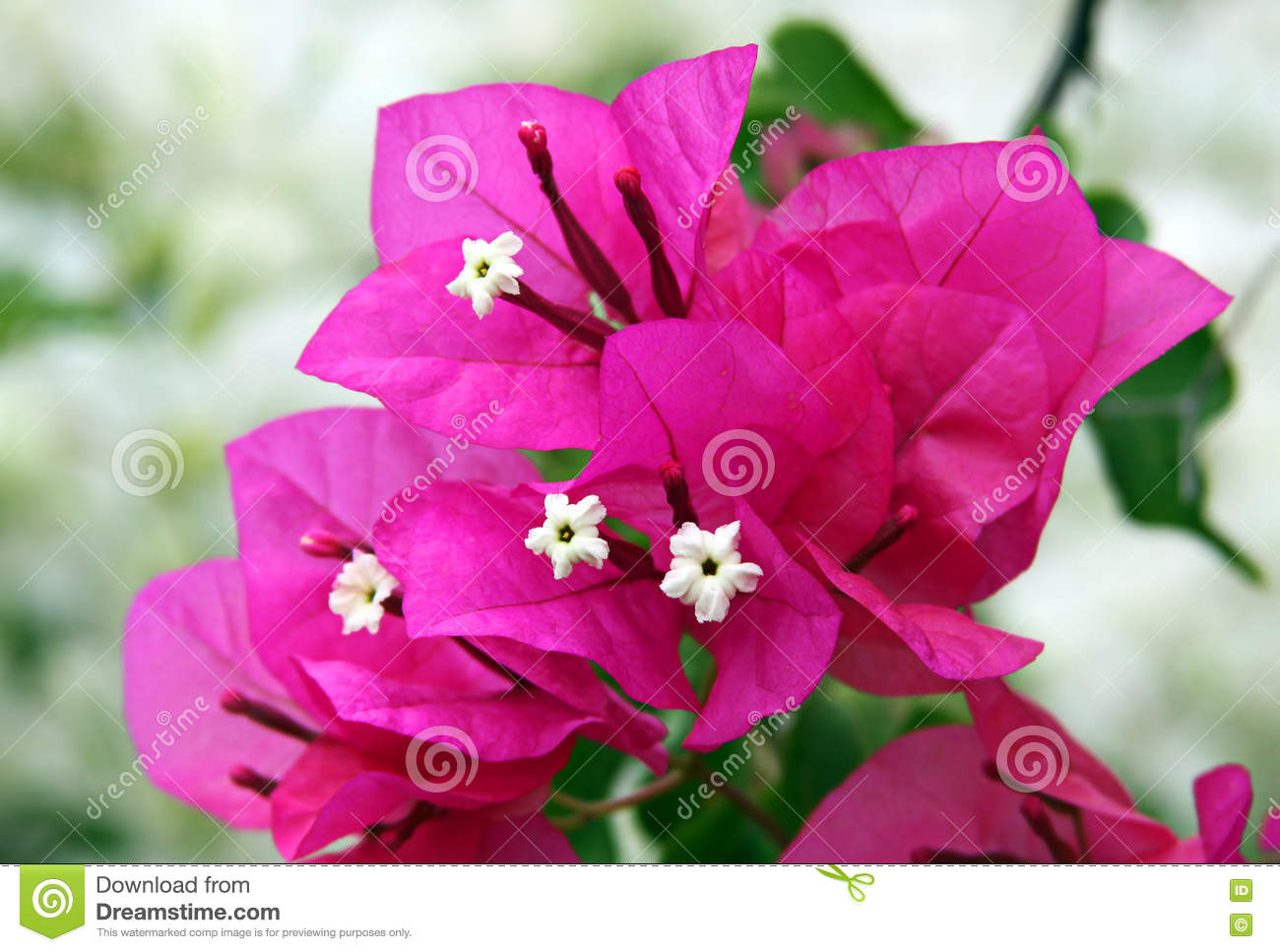 Flowers and bracts of bougainvillea