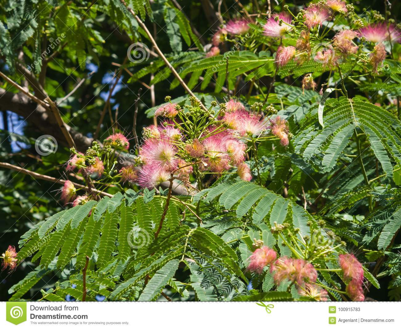 Flowers and buds on blooming persian silk tree albizia julibrissin download flowers and buds on blooming persian silk tree albizia julibrissin with bokeh background mightylinksfo