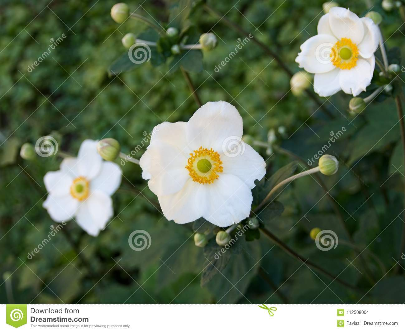 Japanese Anemone Cultivar Of White Flowers With Buds Stock Photo