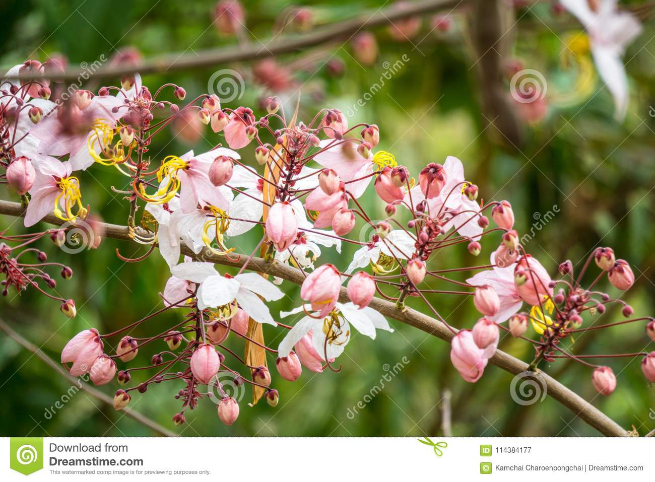 Flowers of cassia bakeriana or common name horse cassia pink flowers of cassia bakeriana or common name horse cassia pink cassia pink shower or wishing tree flowering plants in the legume family usually found in mightylinksfo