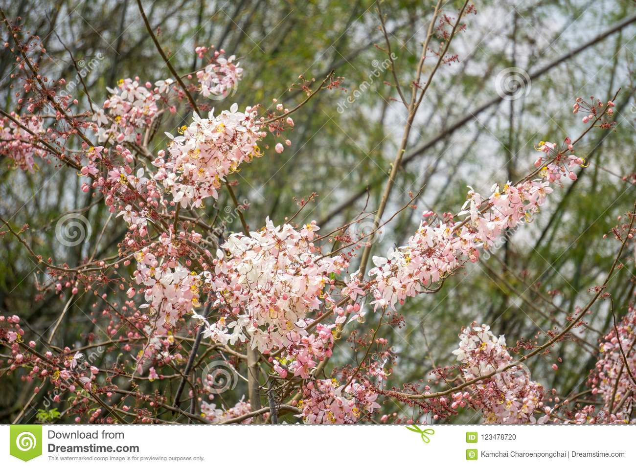 Flowers Of Cassia Bakeriana Or Common Name Horse Cassia Pink