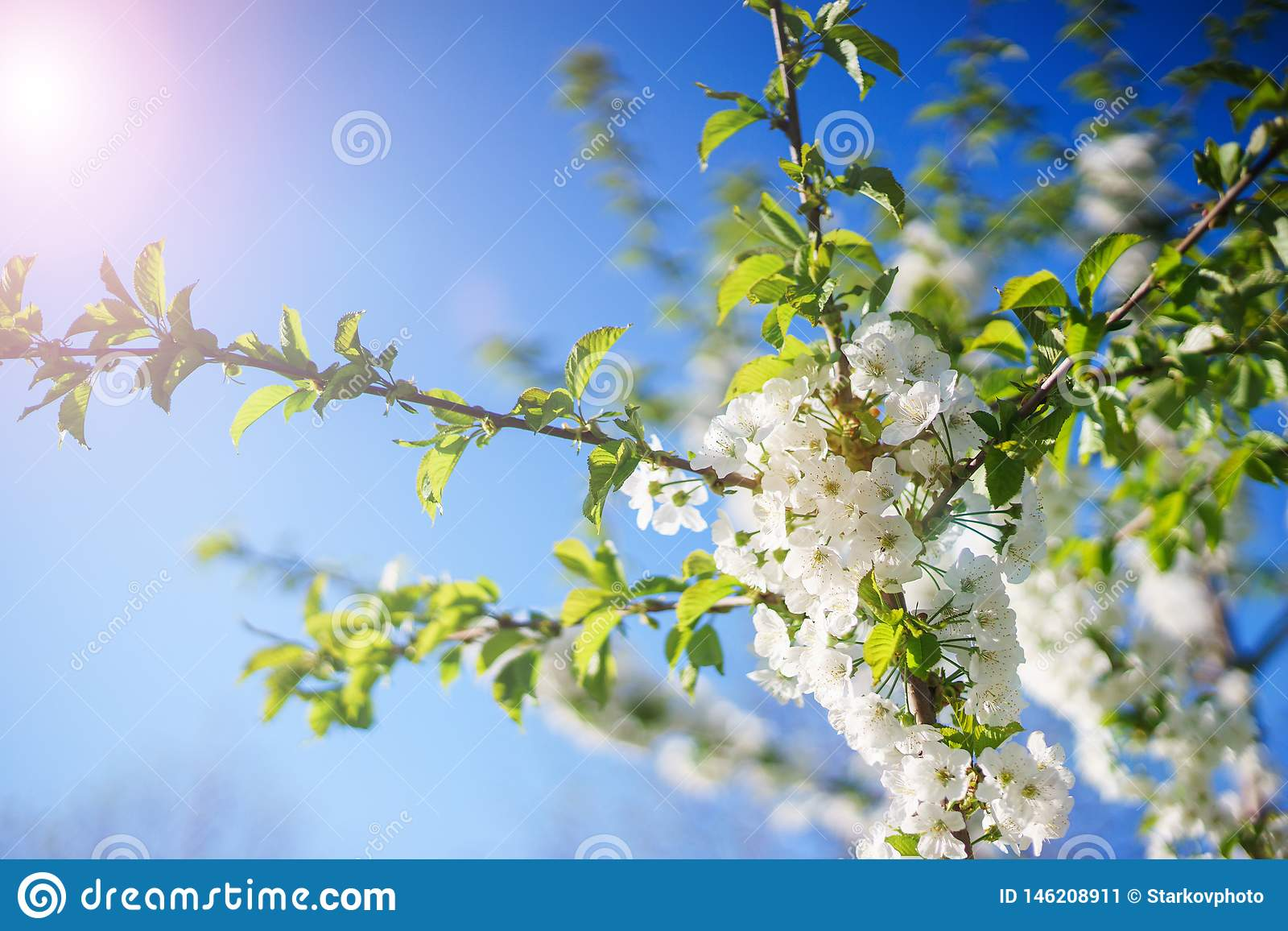 Flowers Cherry Blossoms On The Branches On A Spring Day Stock Image Image Of Freshness Blank 146208911