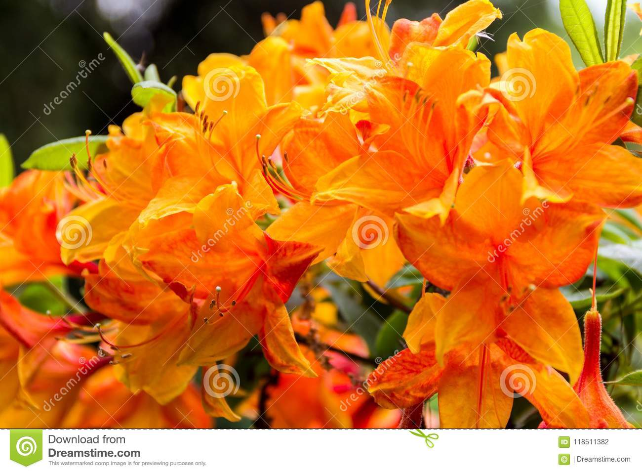 Spring flowers close up large saggy flower for design stock photo download spring flowers close up large saggy flower for design stock photo mightylinksfo