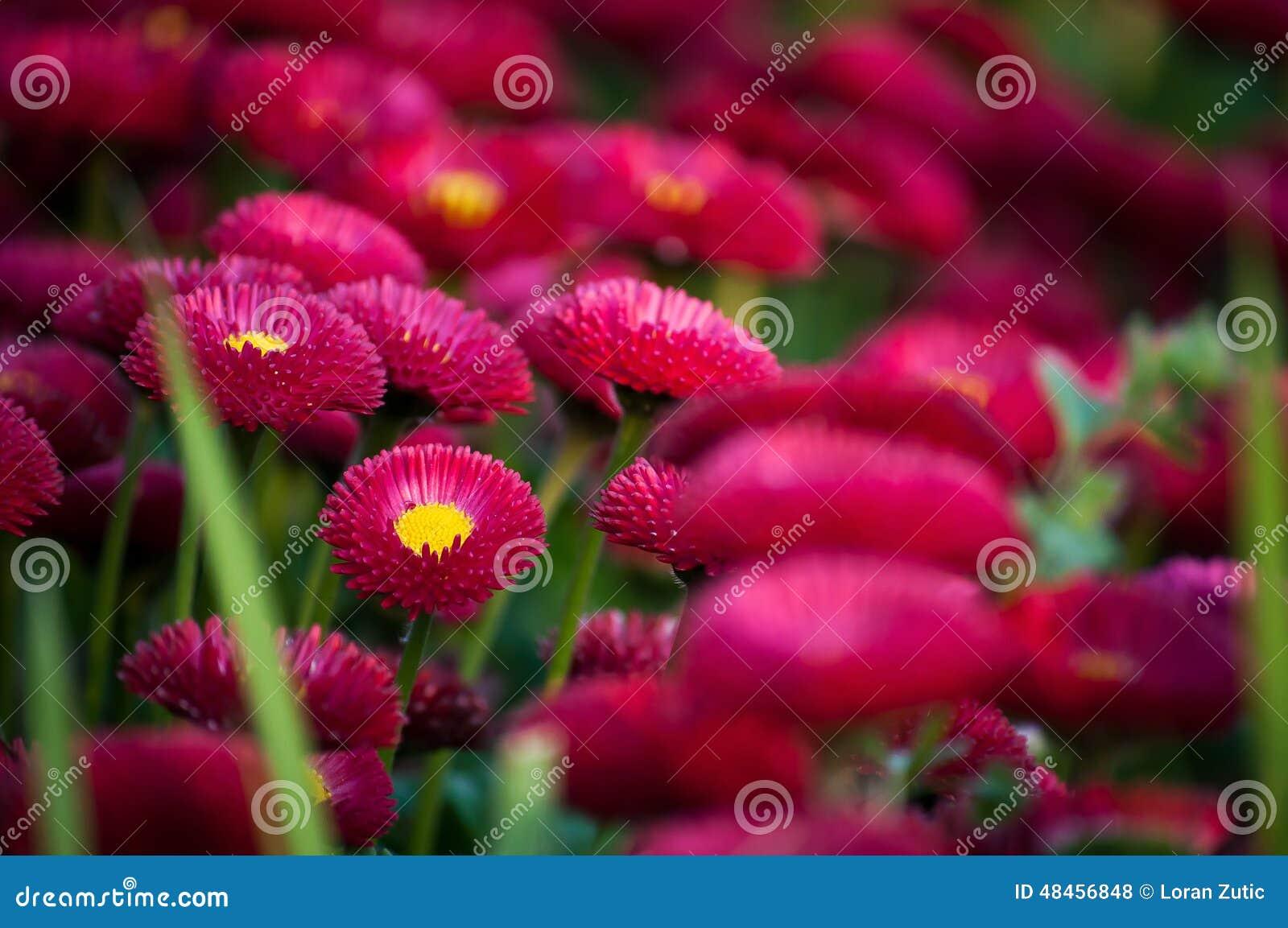 Flowers color fuchsia stock photo. Image of belgrade - 48456848