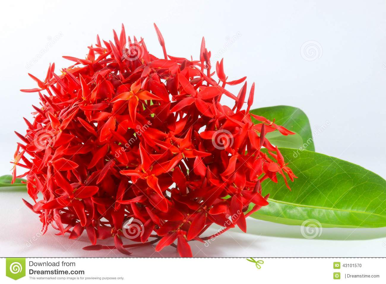 Flowers color red. stock photo. Image of white, color - 43101570