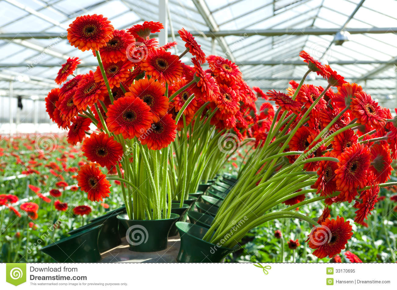 Flowers In A mercial Greenhouse Royalty Free Stock Image