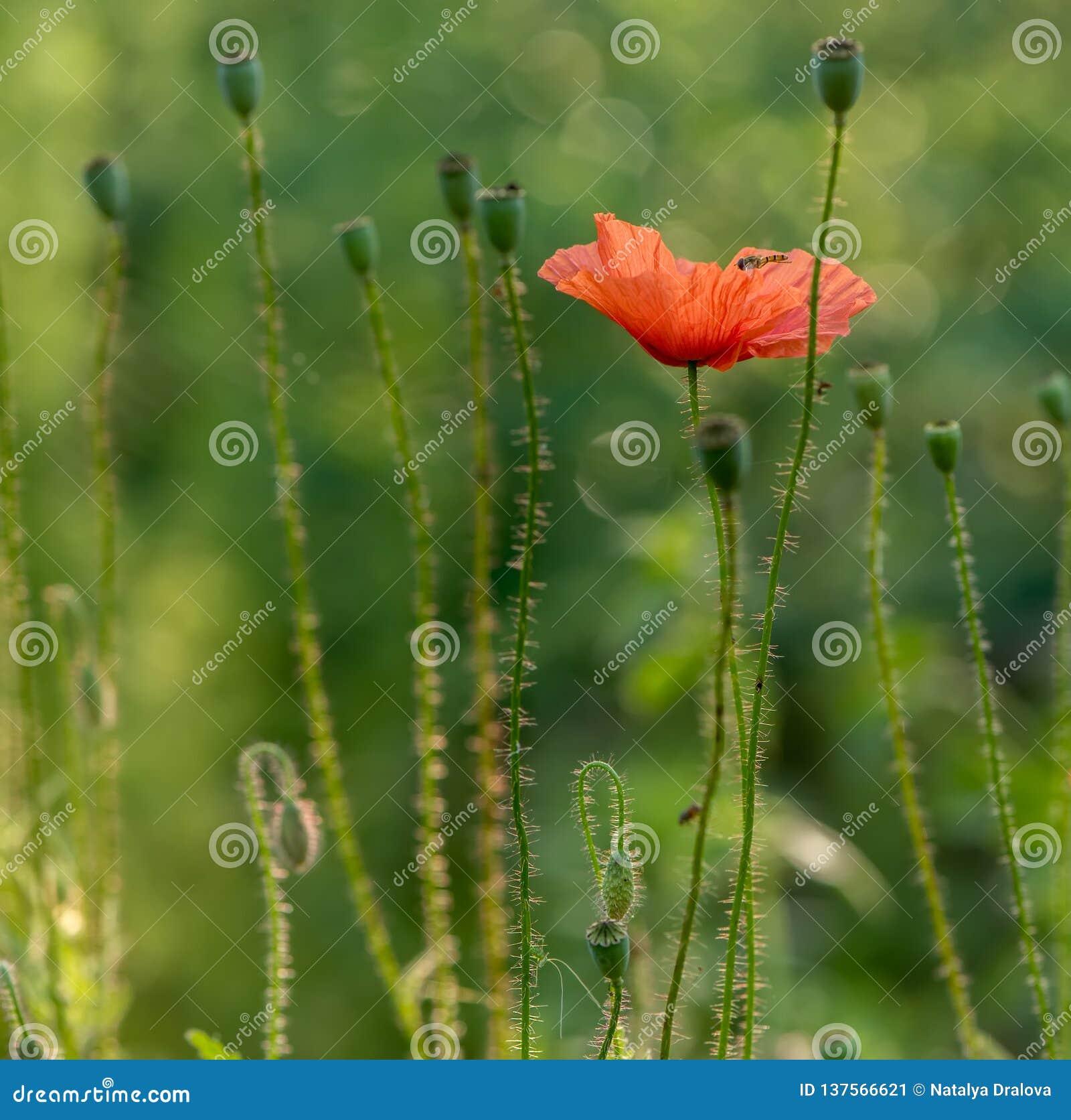 Flowers common poppy