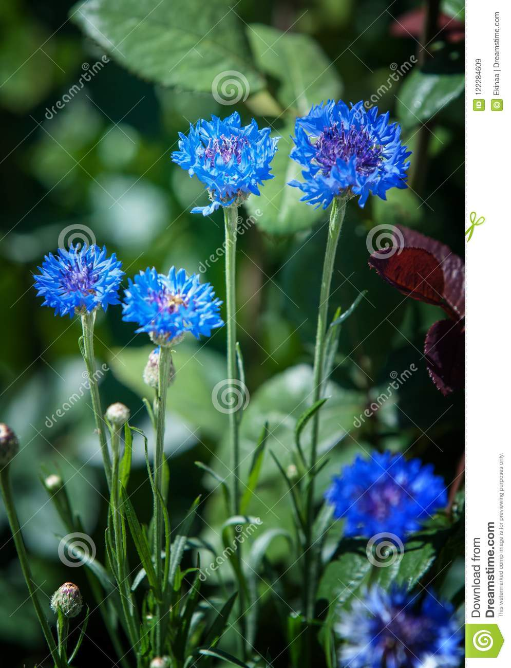 Flowers cornflowers a slender eurasian plant related to the kna flowers cornflowers a slender eurasian plant related to the knapweed with flowers that are typically a deep vivid blue izmirmasajfo