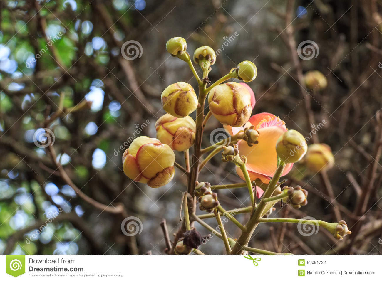 Blooming Couroupita guianensis or cannonball tree