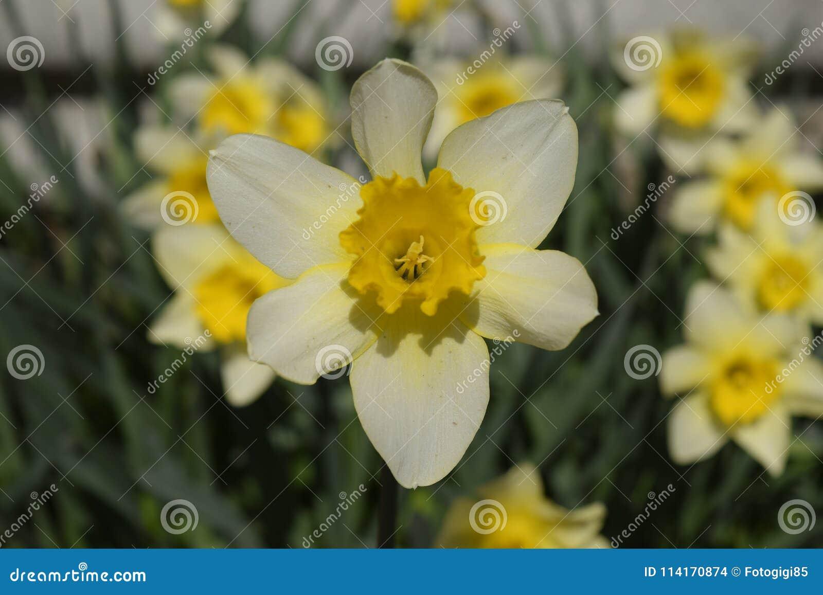 Spring Flowering Bulb Plants In The Flowerbed Flowers Daffodil