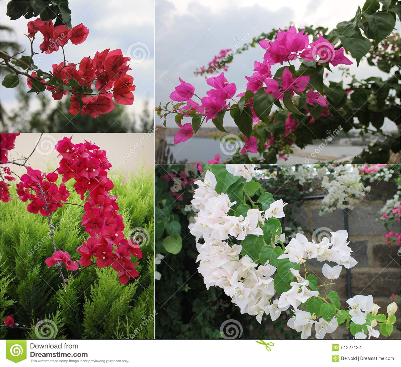 Pink Bougainvillea Tree On White Stock Image - Image of growth ...