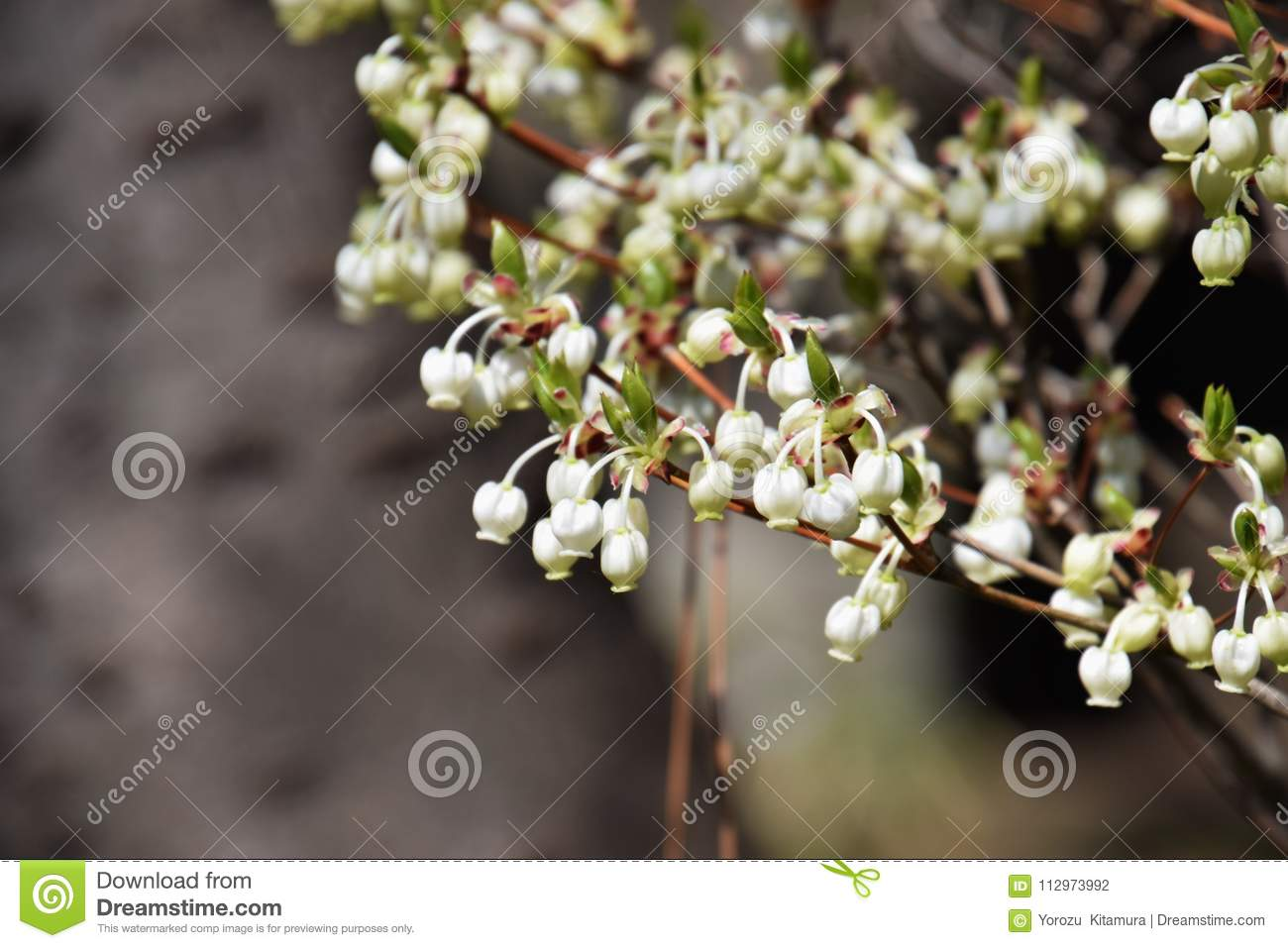 Flowers Of Enkianthus Stock Photo Image Of Beauty Nature 112973992