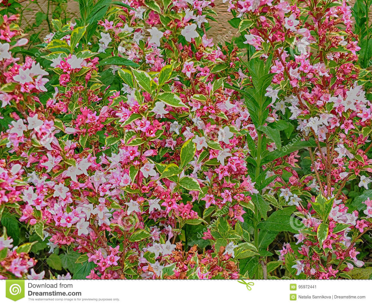 Flowers flora bushes pink green outside stock image image of background of many small pink white flowers on the bush branches mightylinksfo