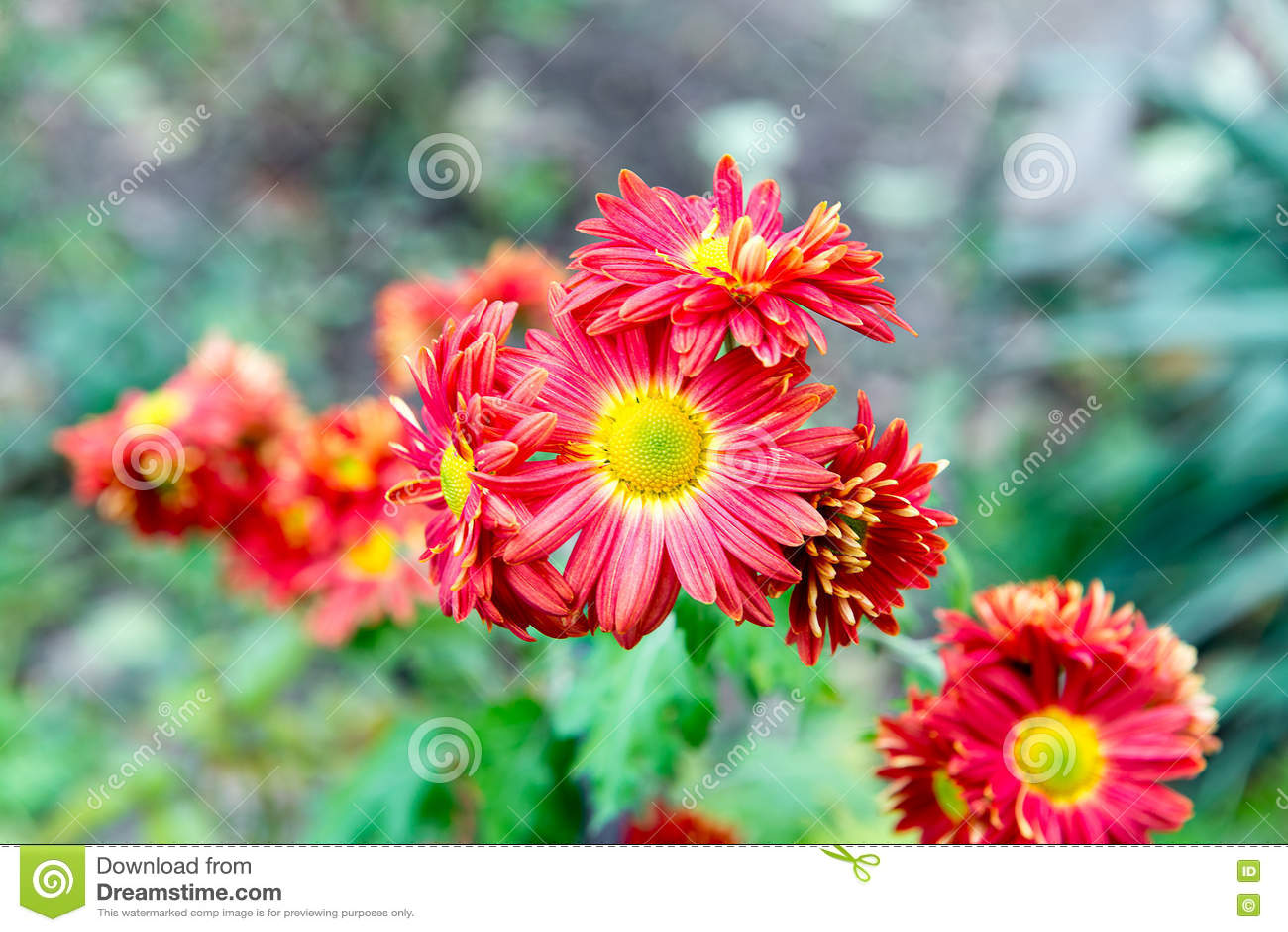 flowers, flowers chrysanthemum, chrysanthemum wallpaper