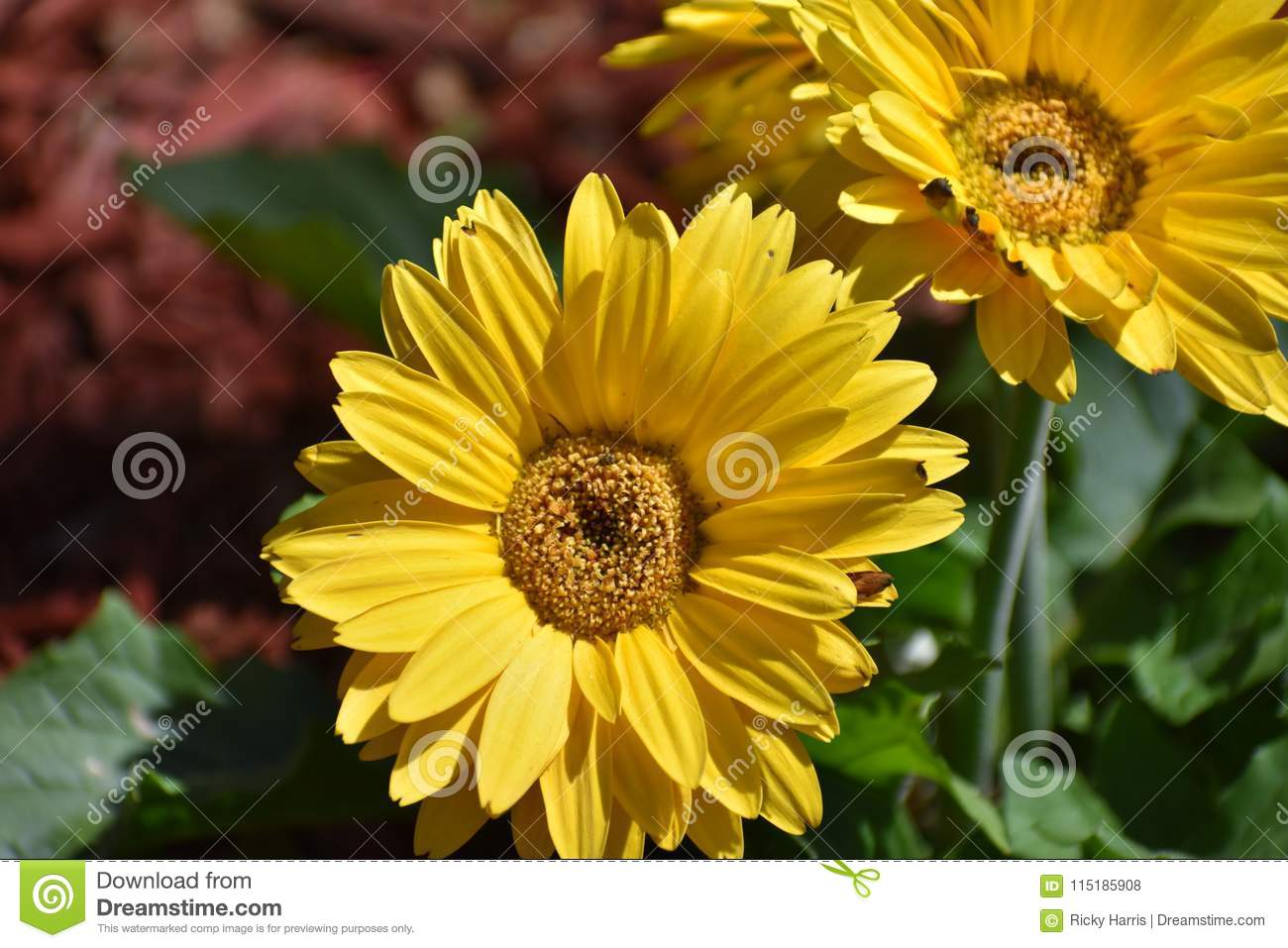 Two Yellow Flowers In Festival Stock Photo Image Of Mulch April