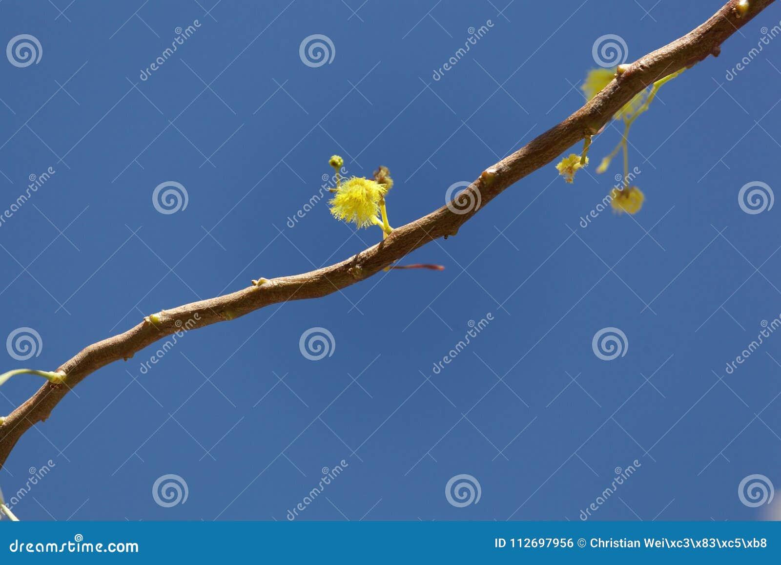 Flowers Of A Golden Wattle Tree Acacia Pycnantha Stock Photo Image