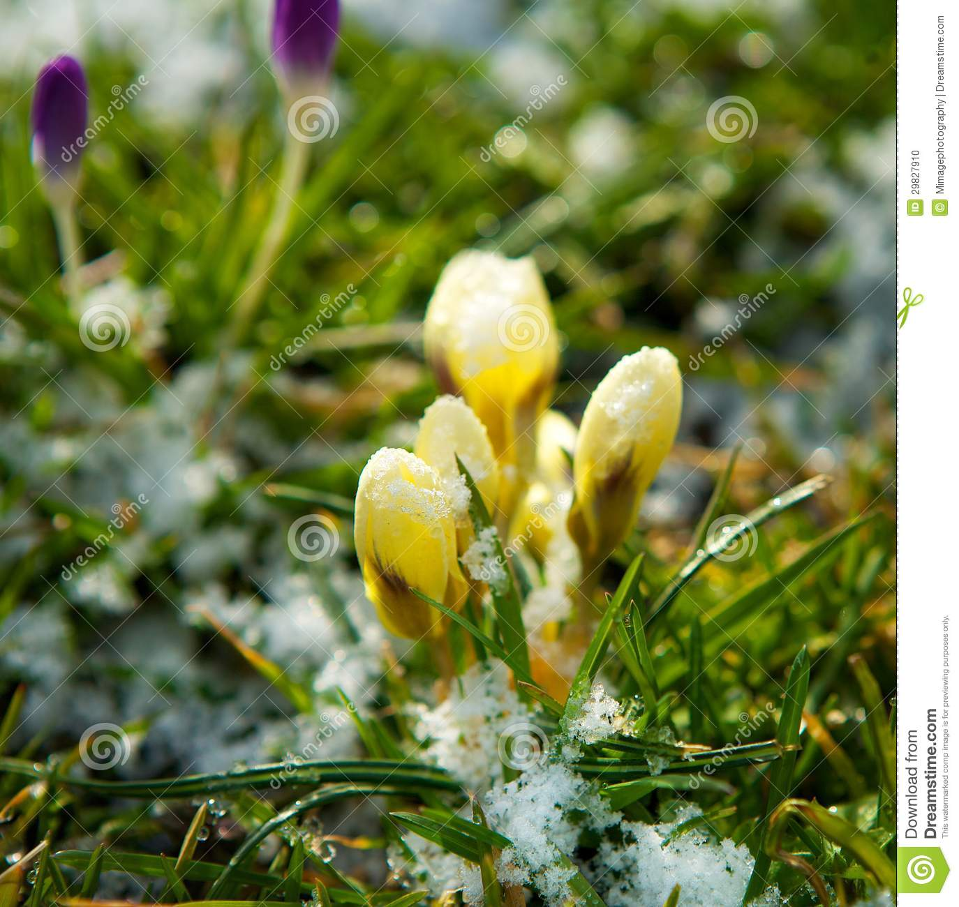 Spring Flowers Growing In Snow Stock Photo Image Of Floral Grass